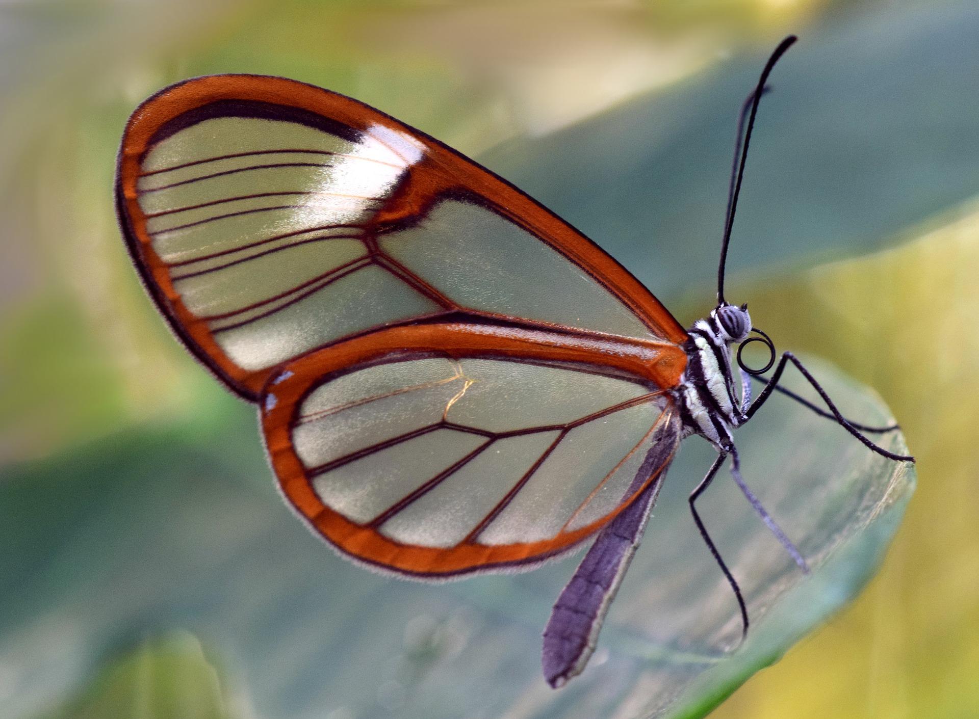 Szklany motyl